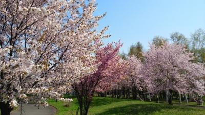 蝦夷桜 満開