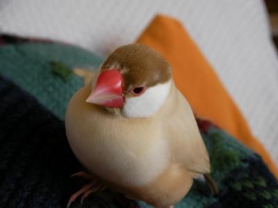 こちらの方は本物のシナモン文鳥のブンちゃん