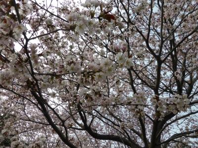 桜ひゃっほーい♪