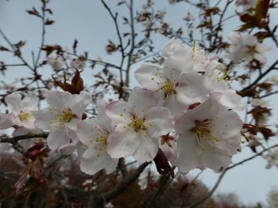 あぁカワイイ桜ちゃん
