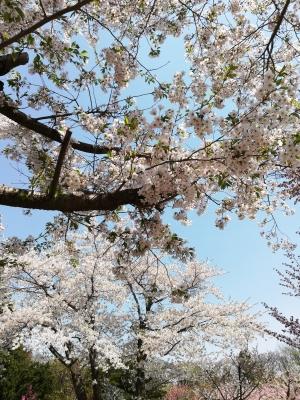 神宮の桜1