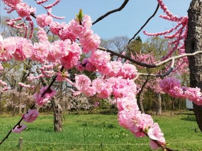 神宮の桜2