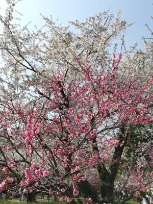神宮の桜3
