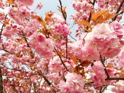 八重桜も一気に満開