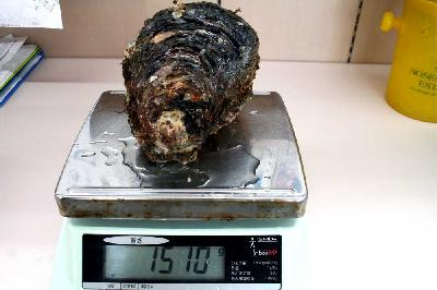 山口県大島産 超特大岩牡蠣
