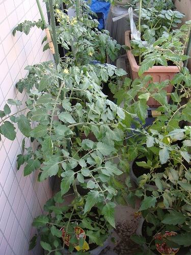 千夏家のベランダ菜園の様子