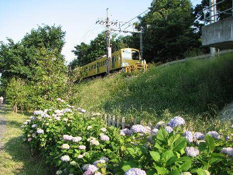 八坂駅土手に群生する紫陽花
