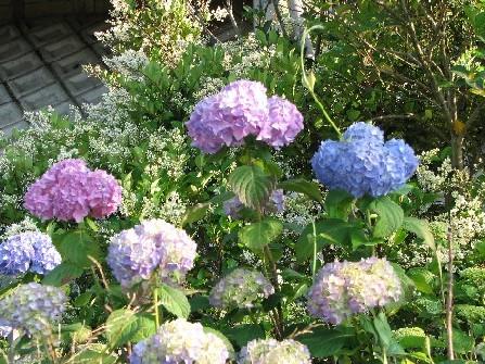 土手の紫陽花