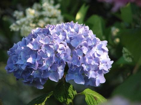 土手の紫陽花2