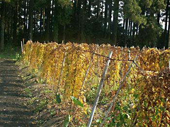 11月16日自然栽培の自然薯が紅葉しています