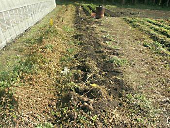 収穫した3連作里芋の畑
