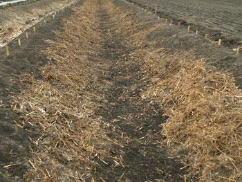 自然薯の畝に堆肥を寄せる