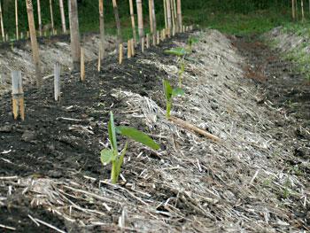 草取り完了の畝と昆作の里芋