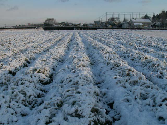 人参畑と雪
