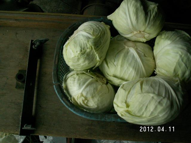 キャベツ収穫2012/4/