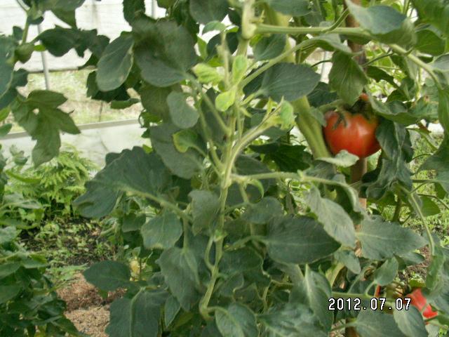 トマトの葉からわき芽が