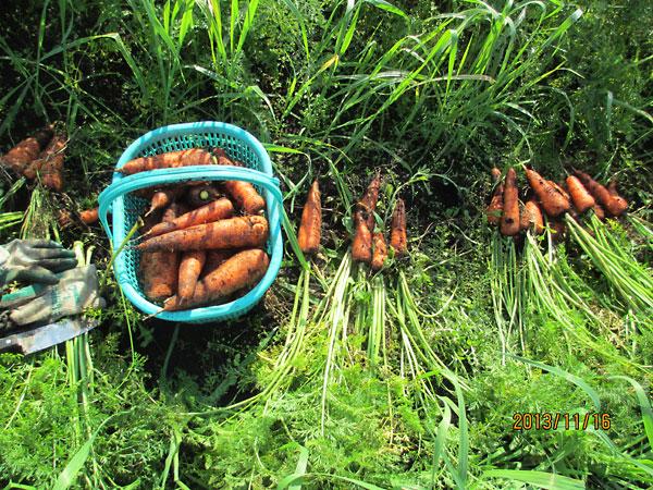 児玉畑 収穫