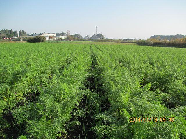 収穫予定の畑