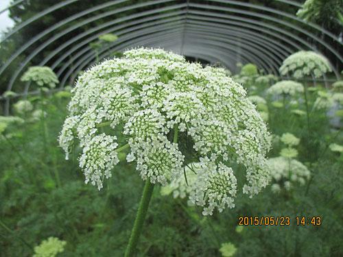 5月23日種取り用の花