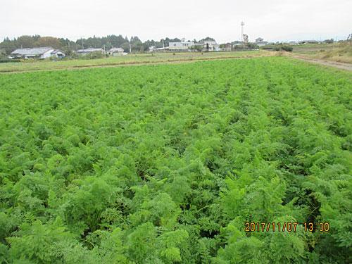 最初の収穫予定の畑