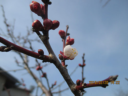 梅の蕾が綻ぶ