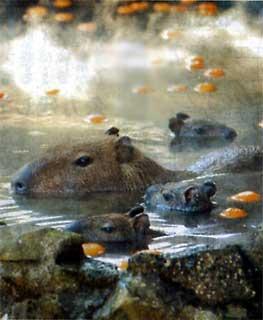 カピバラ in the 温泉