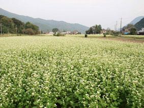 粟野の蕎麦畑