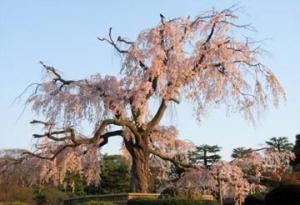 円山公園の祇園枝垂桜