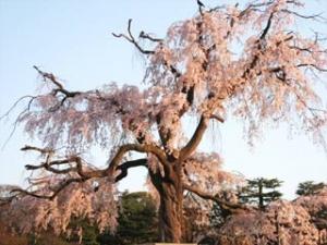 円山公園の祇園枝垂桜2