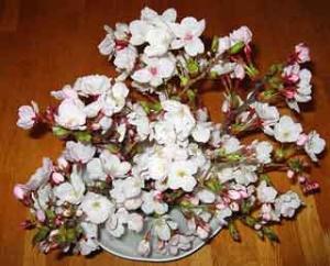 花見の桜 その1