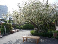 090417-うこん桜01.jpg