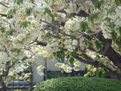 090417-うこん桜02.jpg