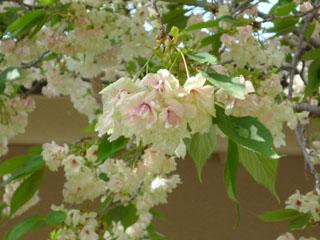090417-うこん桜03.jpg