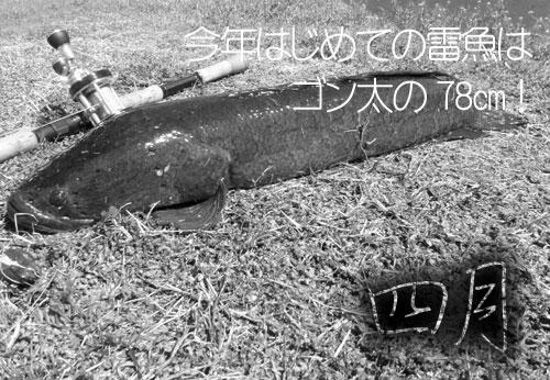 20110414_935583初雷魚.jpg