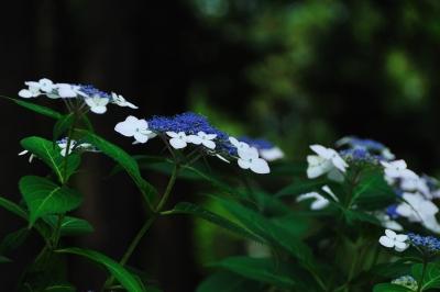 林泉寺の紫陽花