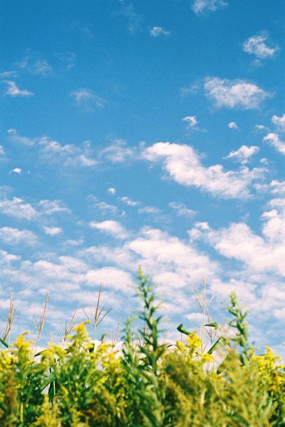 セイタカアワダチソウと羊雲