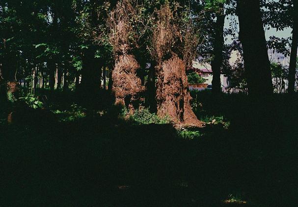 老いたポプラに秋の日差し