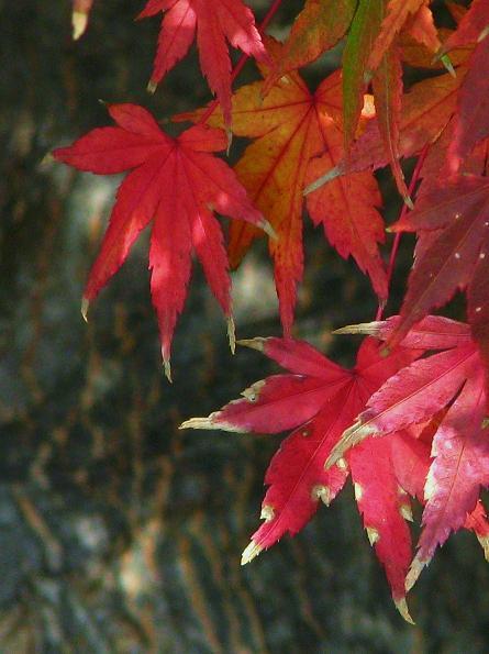 かわいい紅葉