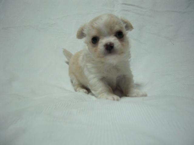 チワワ「サラ」の子犬1