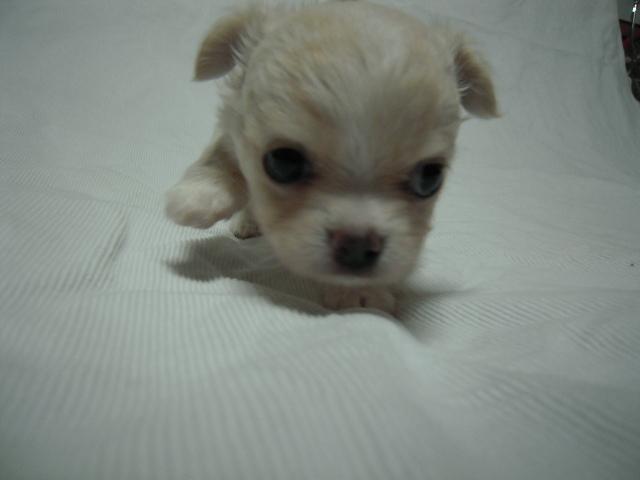 チワワ「サラ」の子犬4