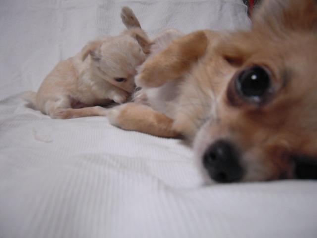 チワワ「サラ」の子犬5