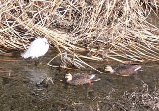 川の鳥たち