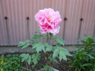 ボタンの花(ピンク)