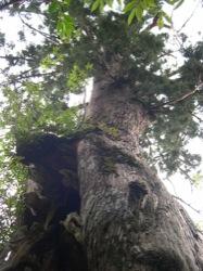 屋久島の木
