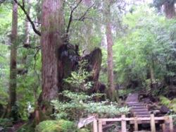 縄文杉階段
