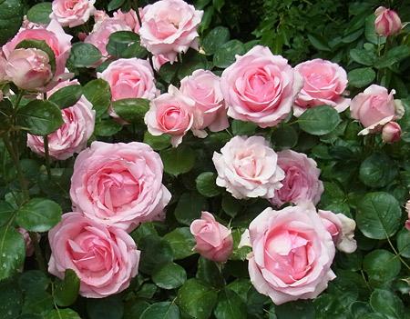 高島屋のバラみたいなバラ