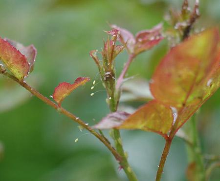 ブルーリバーの花芽についたクサカゲロウの卵