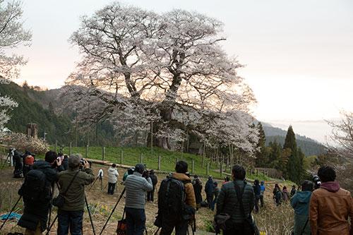 醍醐桜とカメラマン