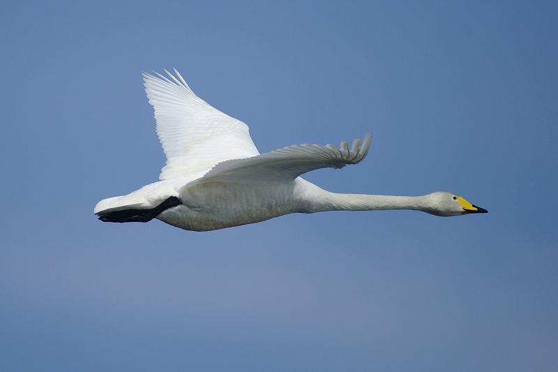 北帰行の白鳥