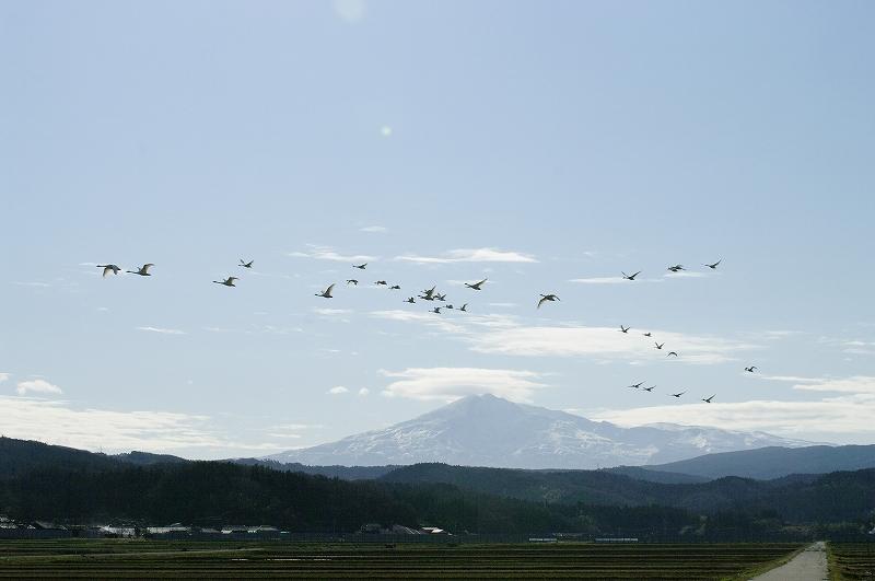 鳥海山を飛ぶハクチョウ